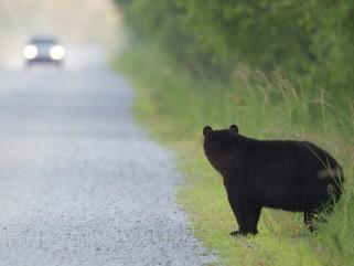 bear_car